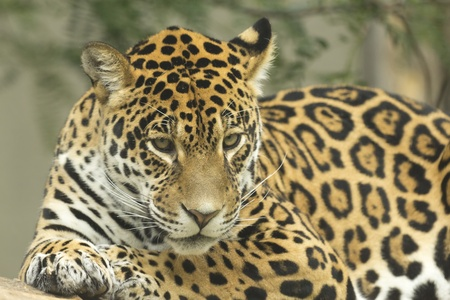Portrait of jaguar lying on a tree trunk  Stock Photo