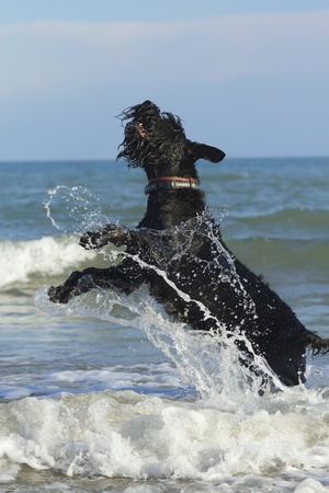 Big Black Schnauzer Dog jumps in the sea waves  Stock Photo - 12997288