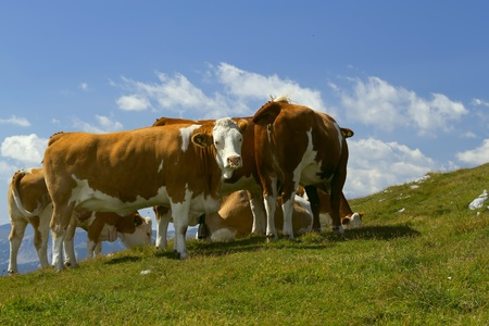schneeberg: The group of cows grazing on mountain meadow  Mountain Schneeberg, Austria, Europe