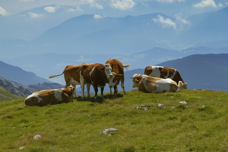 red heifer: El grupo de vacas pastando en la monta�a prado Schneeberg Monta�a, Austria