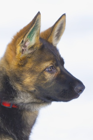 Female German Shepherd puppy on a white background  snow  Stock Photo - 13125365