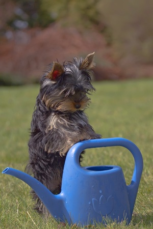 Yorkshire terrier puppy resting on watering the garden