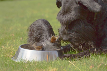 Yorkshire terrier puppy eat from the bowl and looks at her big black schnauzer Stock Photo - 13408269