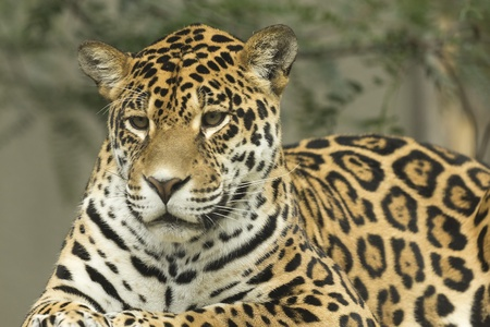 Jaguar portrait lying on a tree trunk  版權商用圖片