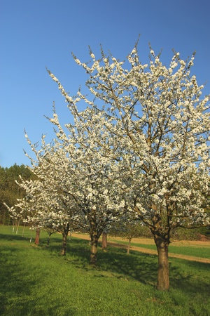 Blooming apple-trees in the garden photo