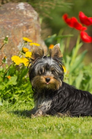 Portrait of Yorkshire Terrier sticking out his tongue  Yellow and red flowers in the background  Stock Photo - 13889312