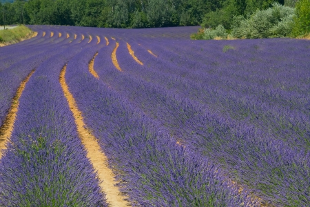 Color lavender field  Natural and herbal landscape in Provence, France  photo