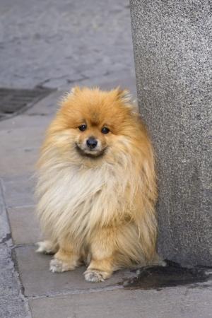 sadly: Purtroppo Spitz cucciolo in attesa al post sul suo padrone