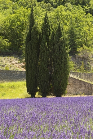 pine three: Three pine trees standing in lavender field  Provence, France  Stock Photo
