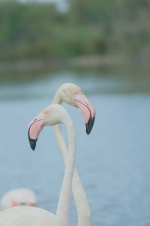 A pair of flamingos standing in the lake   Camargue, South France  photo