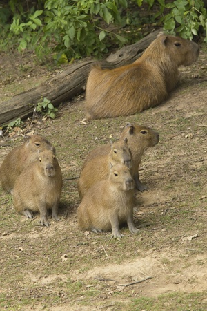 Female capybara with their young photo