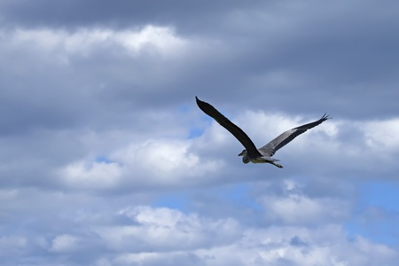 Great heron flying over lake  Blue sky with clouds in the background    Camargue park in France  photo
