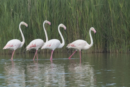 Group of four flamingos walking in a lake   South of France  photo