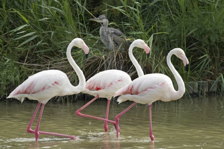 Group of three flamingos walking in a lake In the background sits heron  photo