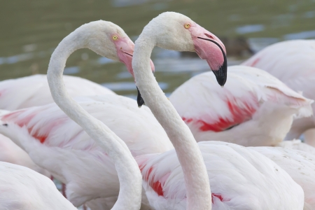 Portrait of two flamingos in the Camargue National Park  South of France  photo