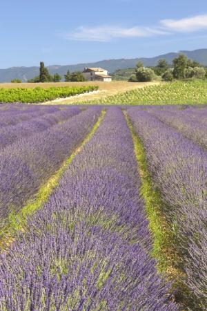 ラベンダー畑プロヴァンス、フランスの田舎のビュー 写真素材