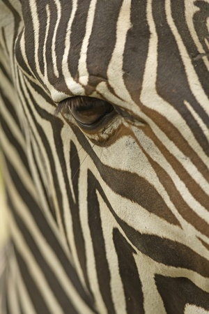 Image of a the face of a Grevy photo
