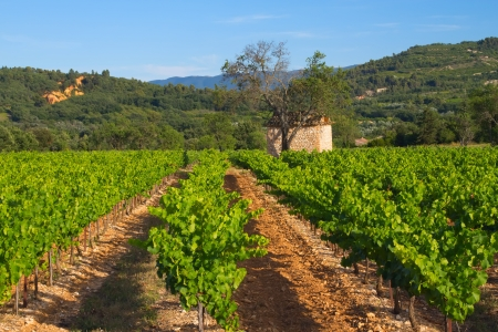 フランスのプロヴァンスのブドウ園を風景します。