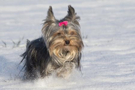 Kleine yorkshire terrier met strik op het hoofd lopen in de sneeuw
