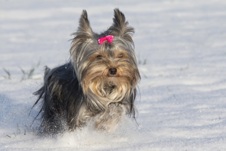 Small yorkshire terrier with bow on head running in the snow Stock Photo