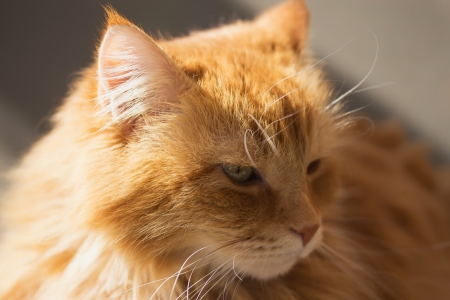 Portrait of a beautiful ginger cat  closeup  Stock Photo - 17296058
