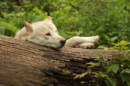 White wolf lying in the woods behind a tree trunk  The front paws  has resting on the trunk  photo