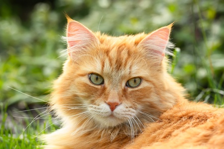 Portrait of a beautiful ginger cat  closeup  in the garden Stock Photo - 18476181