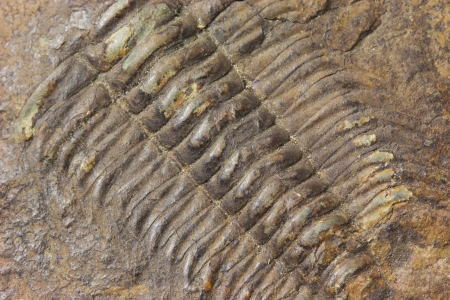 Detailed view of exploration of trilobite beetle fossil embedded in stone photo