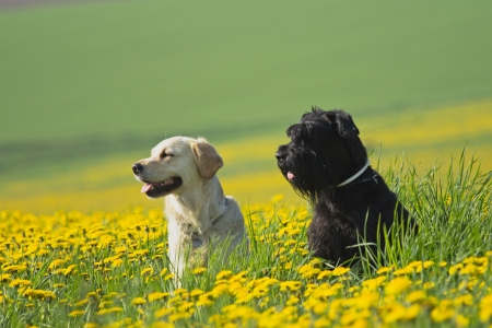 Golden Retriever and Big Black Schnauzer sitting  in flower meadow of yellow dandelions