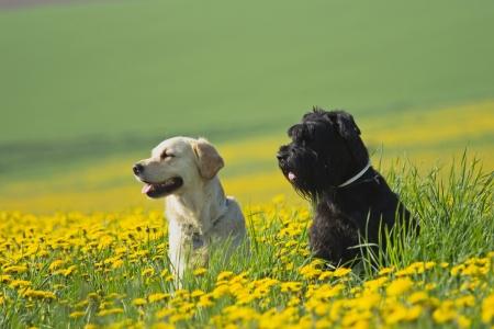Golden Retriever and Big Black Schnauzer sitting  in flower meadow of yellow dandelions