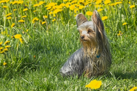 Happy yorkshire terrier in the dandelion meadow Stock Photo