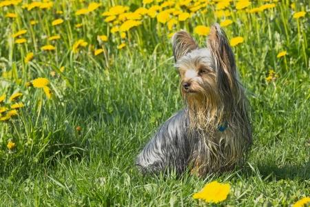 Happy yorkshire terrier in the dandelion meadow 版權商用圖片