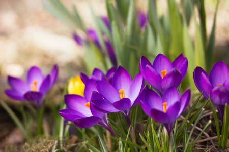 General view of the purple saffron flowers  Horizontally