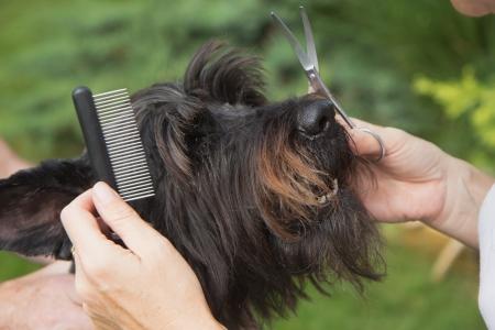 Treatment dog's head by crest (Big Black Schnauzer Dog)