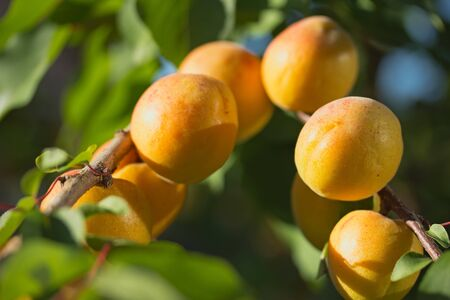 Close up view of apricots ripen on the tree  Horizontally   photo