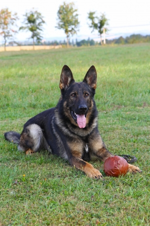 German shepherd dog lying with ball on the lawn. Vertically. Stock Photo - 21983094