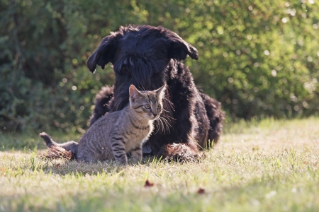 Big black schnauzer dog and grey kitten are relaxing in the garden together. photo