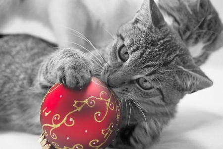 Monochromatic kitten is playing with a red christmas ball. photo