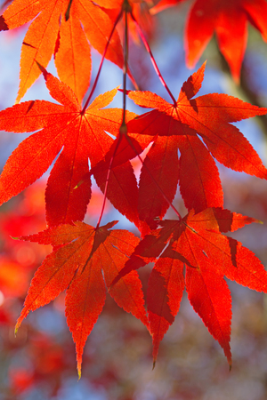 Detailed view of red maple leaves. (Acer palmatum) Stock Photo - 23077982