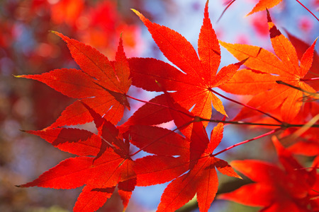 Detailed view of red maple leaves. (Acer palmatum) Stock Photo - 23077983