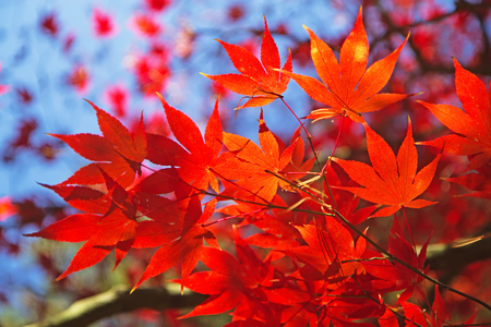Detailed view of red maple leaves. (Acer palmatum) Stock Photo - 23077984