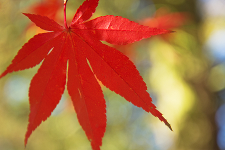 Detailed view of red maple leaf. (Acer palmatum) Stock Photo - 23077985