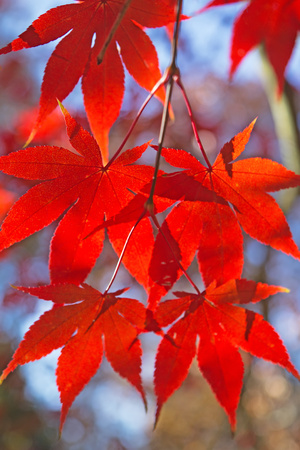 Detailed view of red maple leaves. (Acer palmatum) Stock Photo - 23077986