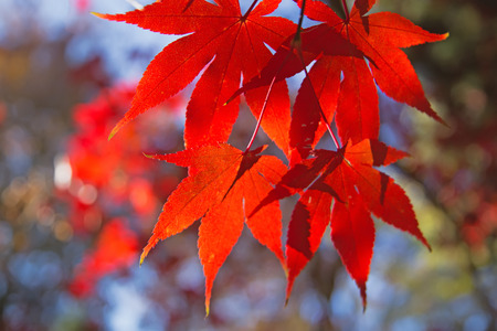 Detailed view of red maple leaves. (Acer palmatum) Stock Photo - 23831897