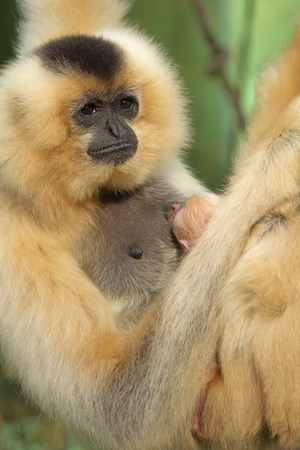 Unique shot of the Lar Gibbon (Hylobates lar) with animal baby. photo
