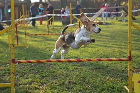 Beagle bitch is jumping an obstacle outdoors.