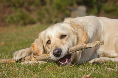 Golden Retriever is biting a stick. The dog is lying on a green lawn. Stock Photo