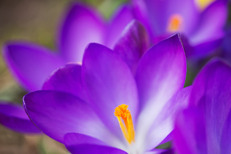 Detailed view of a purple crocus in bloom.  photo