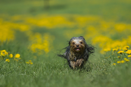 Yorkshire terrier is running toward the camera on a blooming dandelion meadow. photo