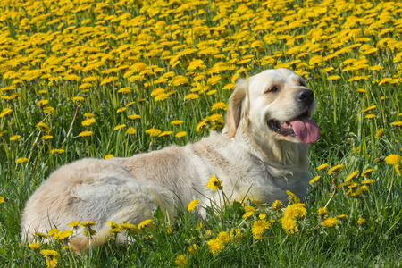Golden Retriever is lying on a blooming dandelion meadow. photo